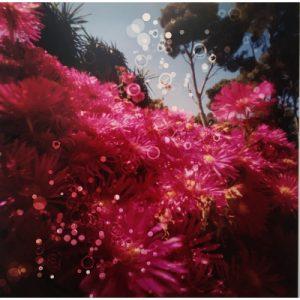 Dianne Bos, Cactus Flowers 11, Cap Roig Botanical Garden, Spain, ed/3, 2019, C-Print, 30 x 30 inches at Newzones Gallery, Calgary Canada